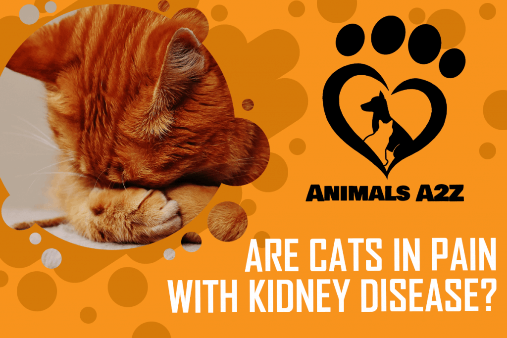 Are Cats In Pain With Kidney Disease Detailed Answer