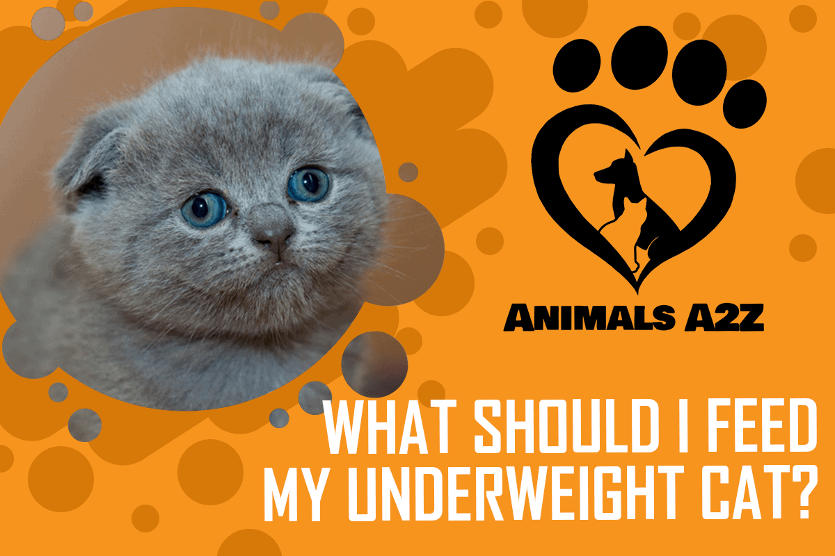 What should I feed my underweight cat