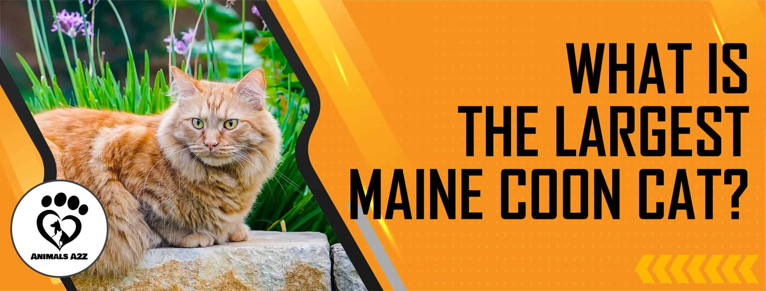 What is the largest Maine Coon cat?