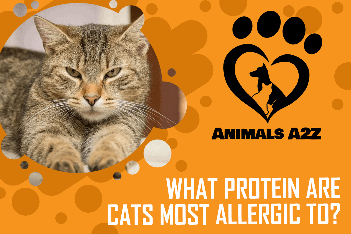 What protein are cats most allergic to