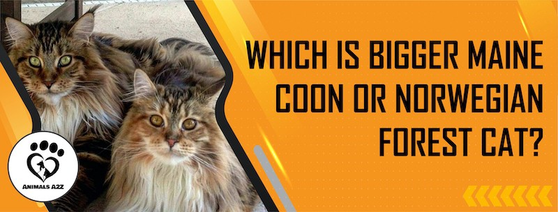 Which is bigger Maine Coon or Norwegian Forest cat?
