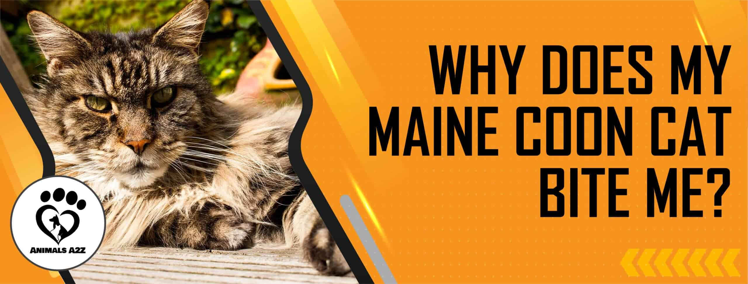 Why does my Maine coon cat bite me?