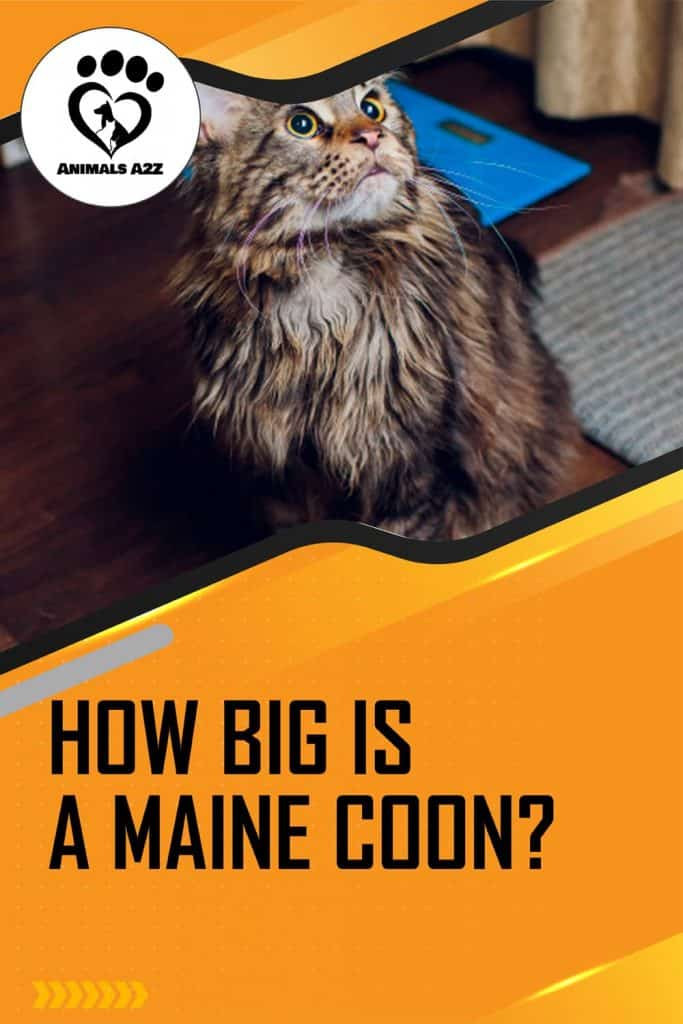 How big is a Maine Coon?