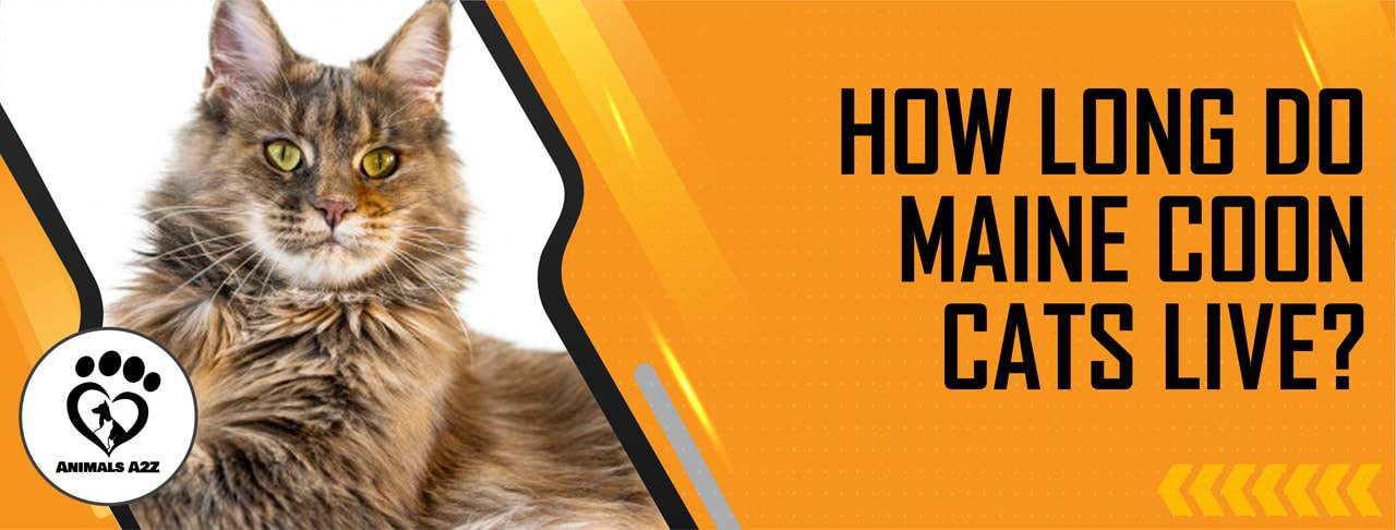 How long do Maine Coon cats live?