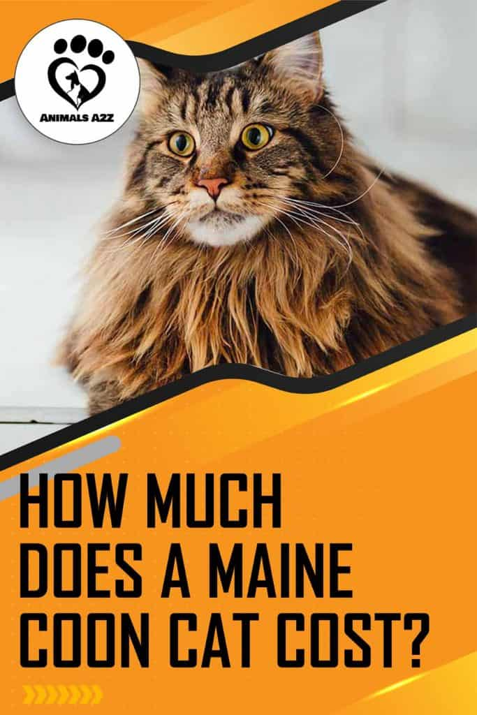 How much does a Maine Coon cat cost?