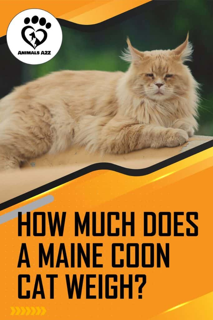 How much does Maine Coon cat weigh?
