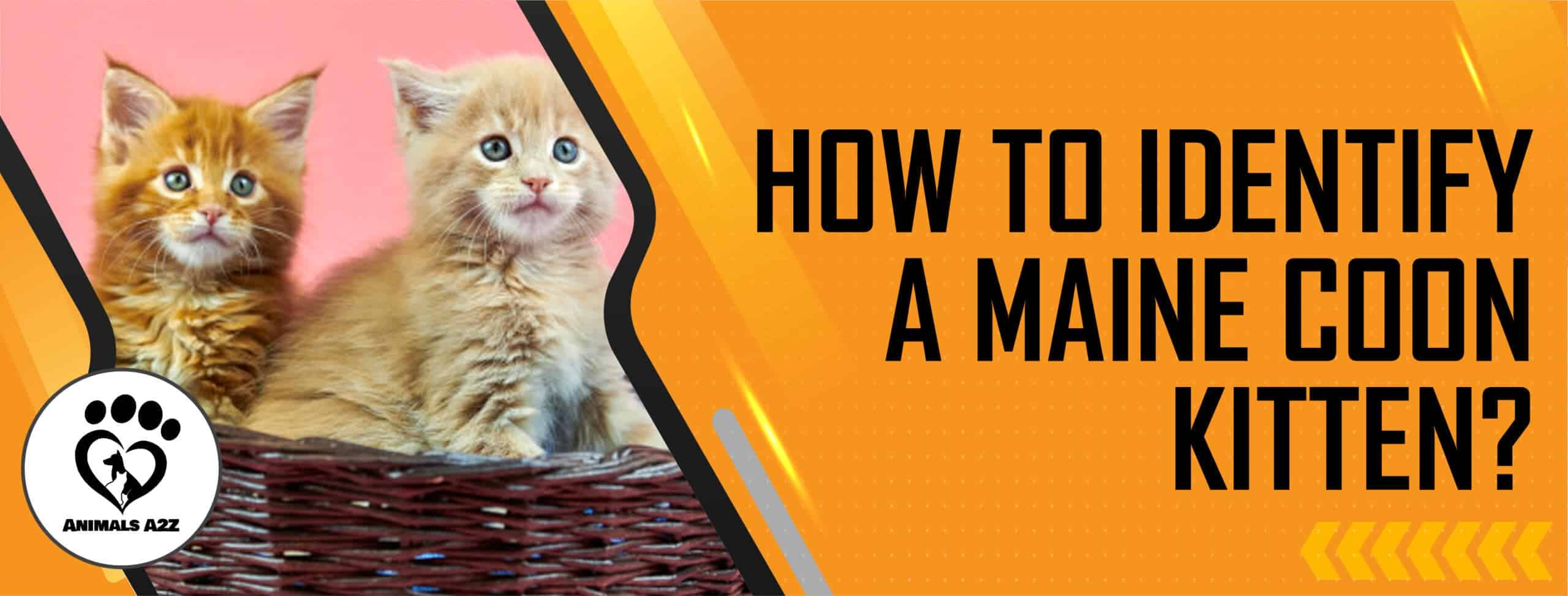 How to identify a Maine Coon kitten