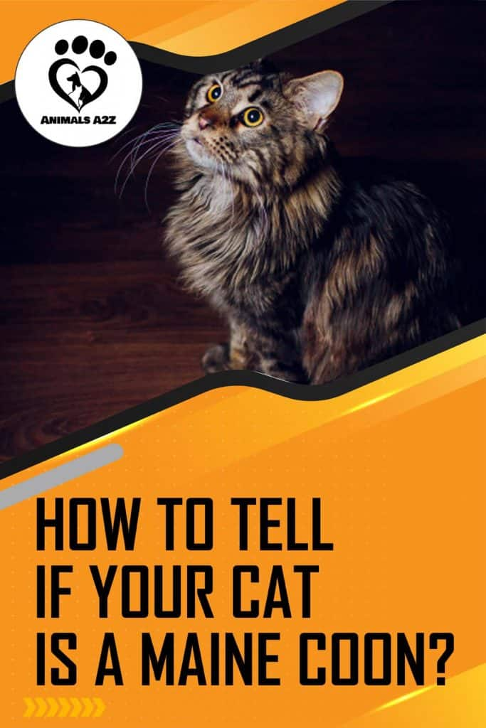 How to tell if your cat is a Maine Coon