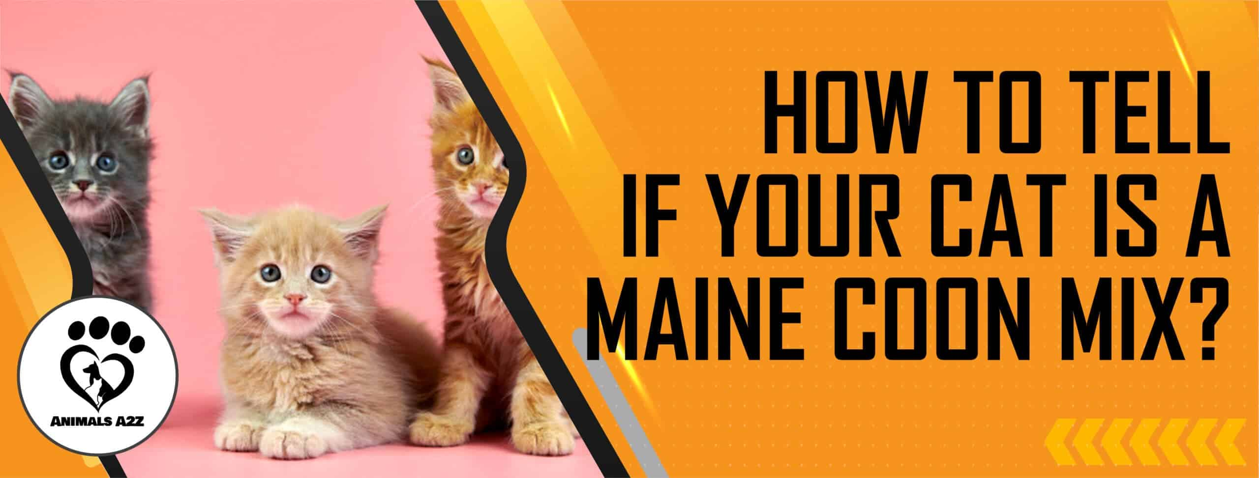 How to tell if your cat is a Maine Coon mix