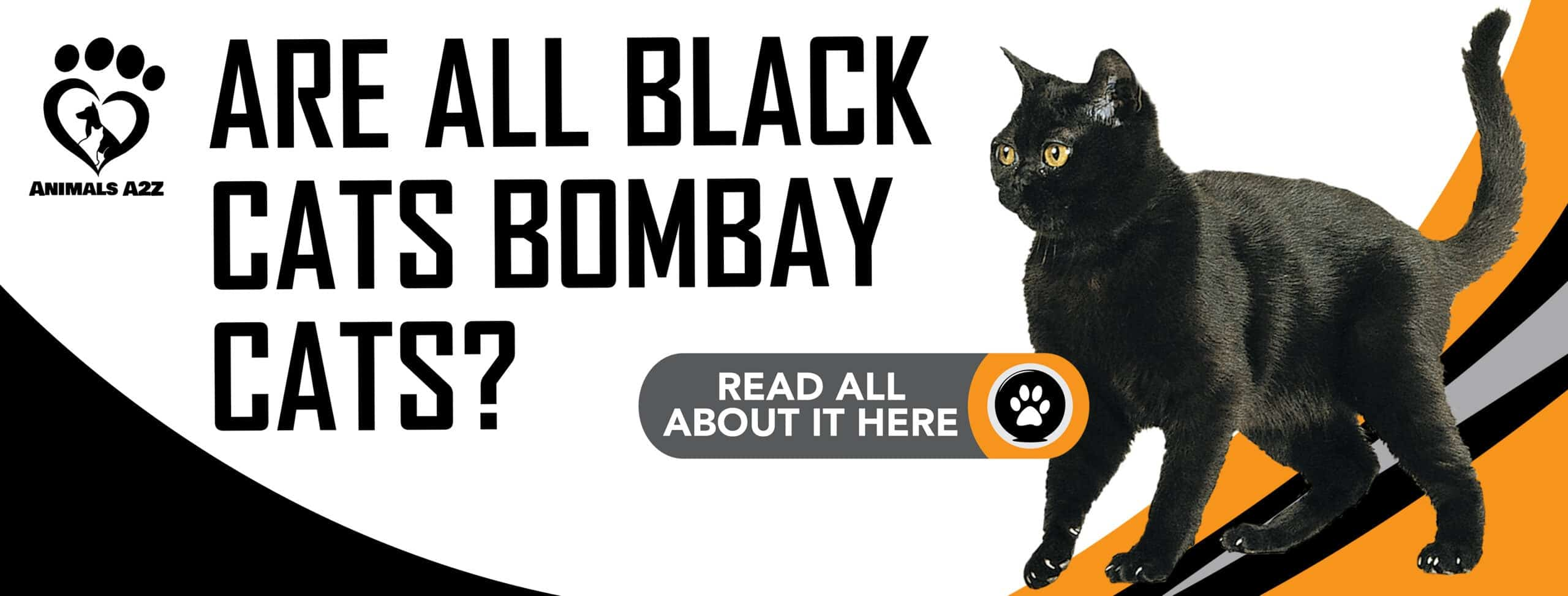 Are all black cats Bombay cats