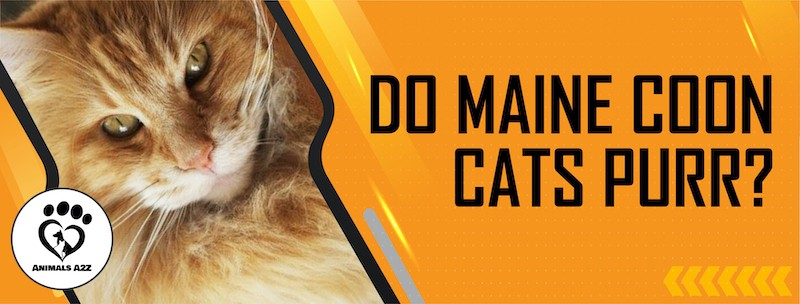 Do Maine coon cats purr?