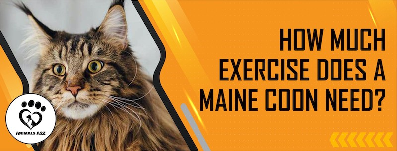 How much exercise does a Maine coon need?