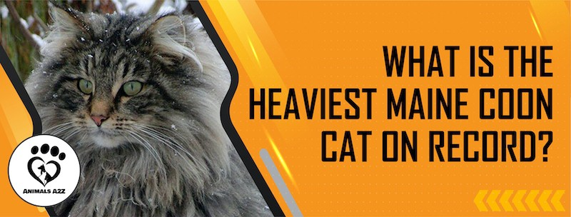 What is the heaviest Maine Coon cat on record?