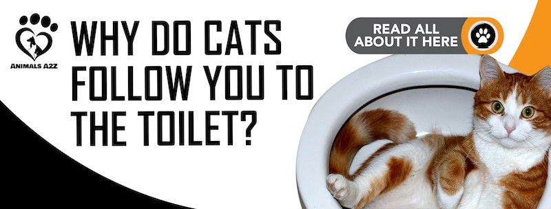 Why do cats follow you to the toilet?