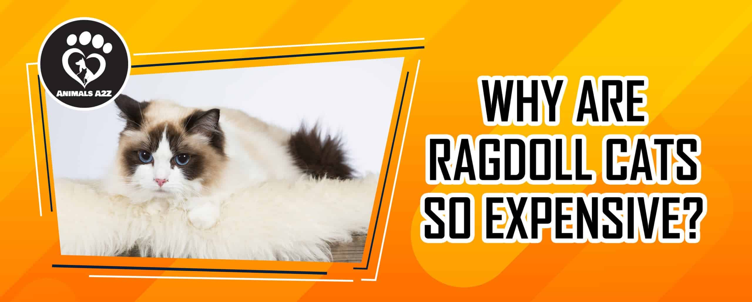 Why are Ragdoll cats so expensive?