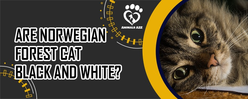 Are norwegian forest cat black and white