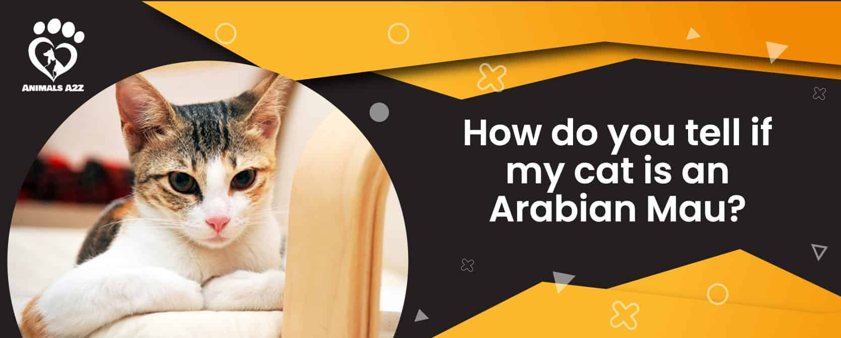 How do you tell if my cat is an Arabian Mau?