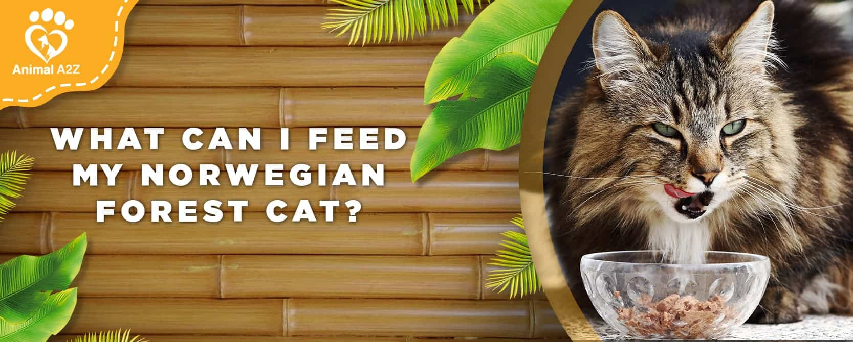 What can I feed my Norwegian Forest cat?