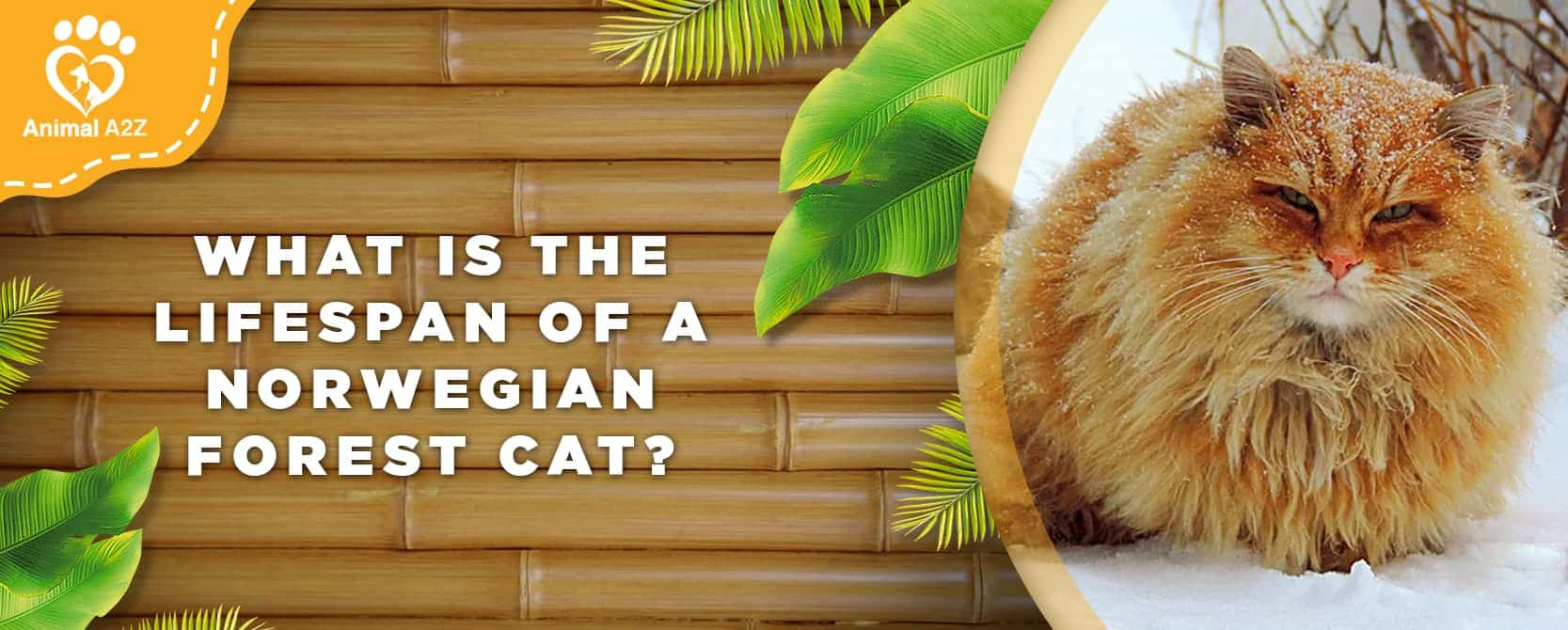 What is the lifespan of a Norwegian Forest Cat?