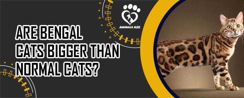 Are Bengal Cats bigger than normal cats?