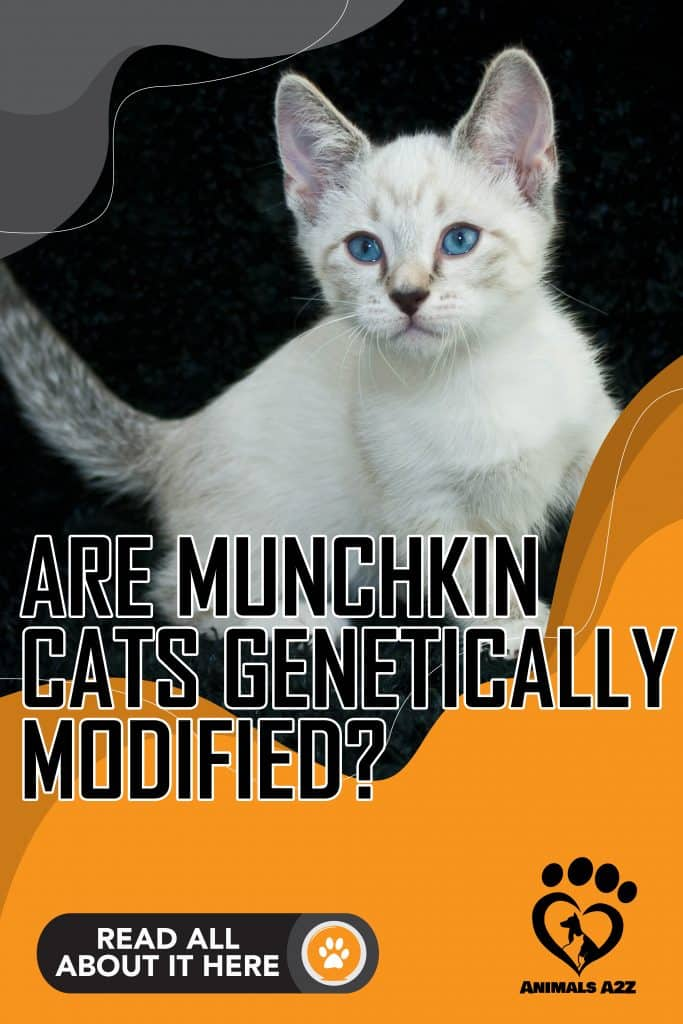 Are Munchkin cats genetically modified?