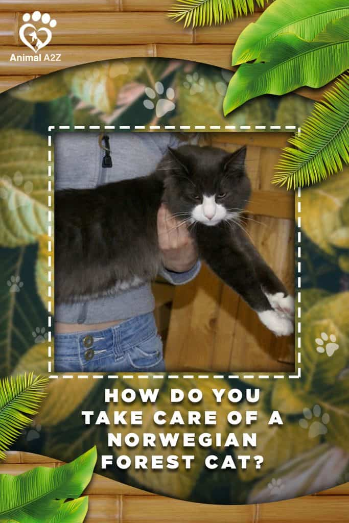 How do you take care of Norwegian Forest cats?