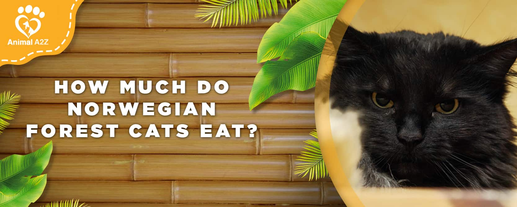 How much do Norwegian Forest cats eat?