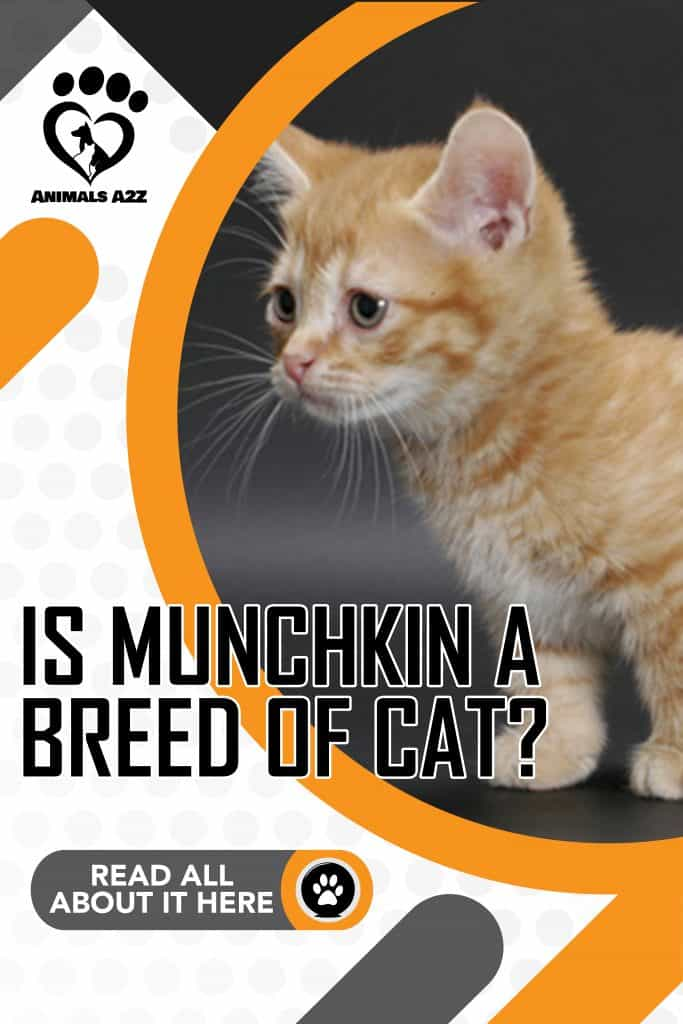 Is Munchkin a breed of cat?