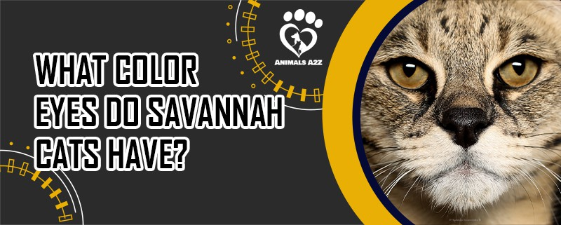 What color eyes do Savannah cats have?