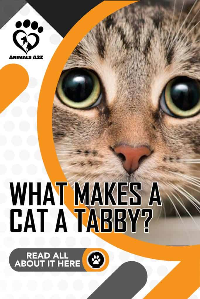 What makes a cat a tabby?